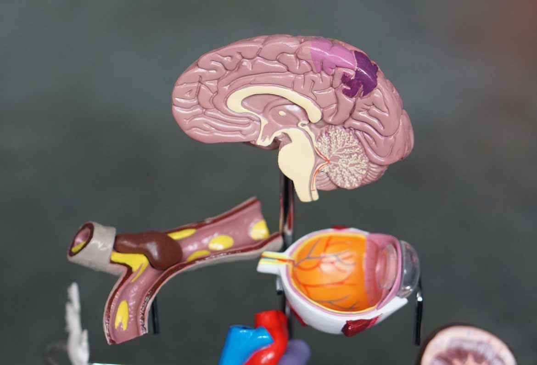 cerebro ojo y quiasma optico de plastico