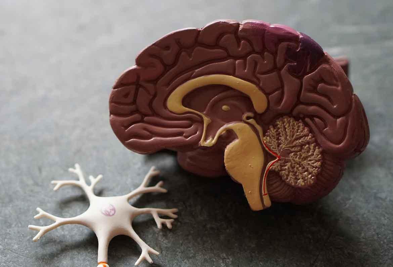 corte longitudinal cerebro y neurona