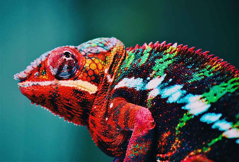 camaleon de colores llamativos