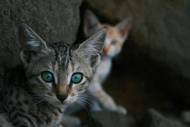 dos crías de gatos una enfocada con ojos grandes